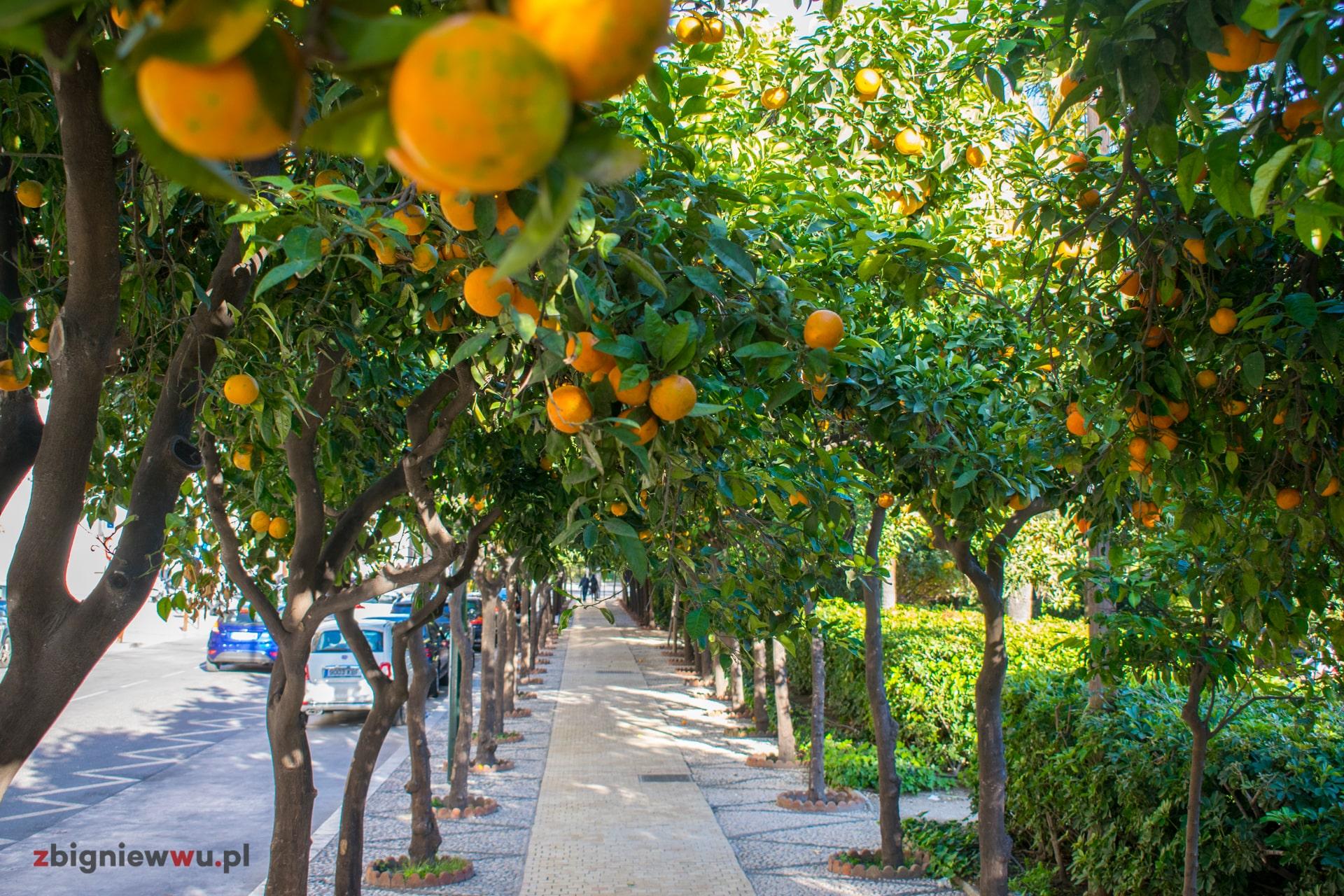 Wszędzie rosną pomarańczowe drzewka