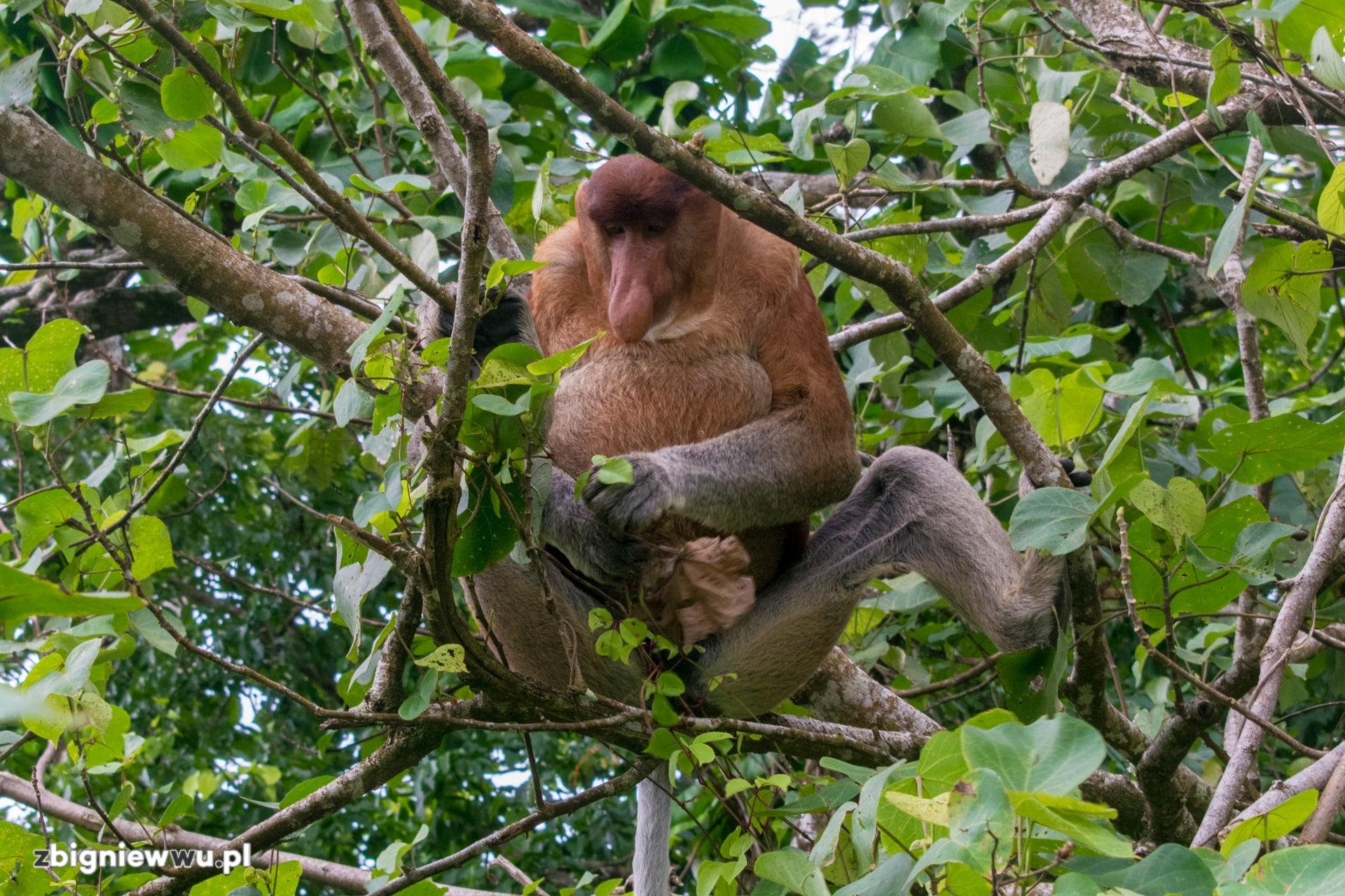 Nosacz Sundajski na Borneo