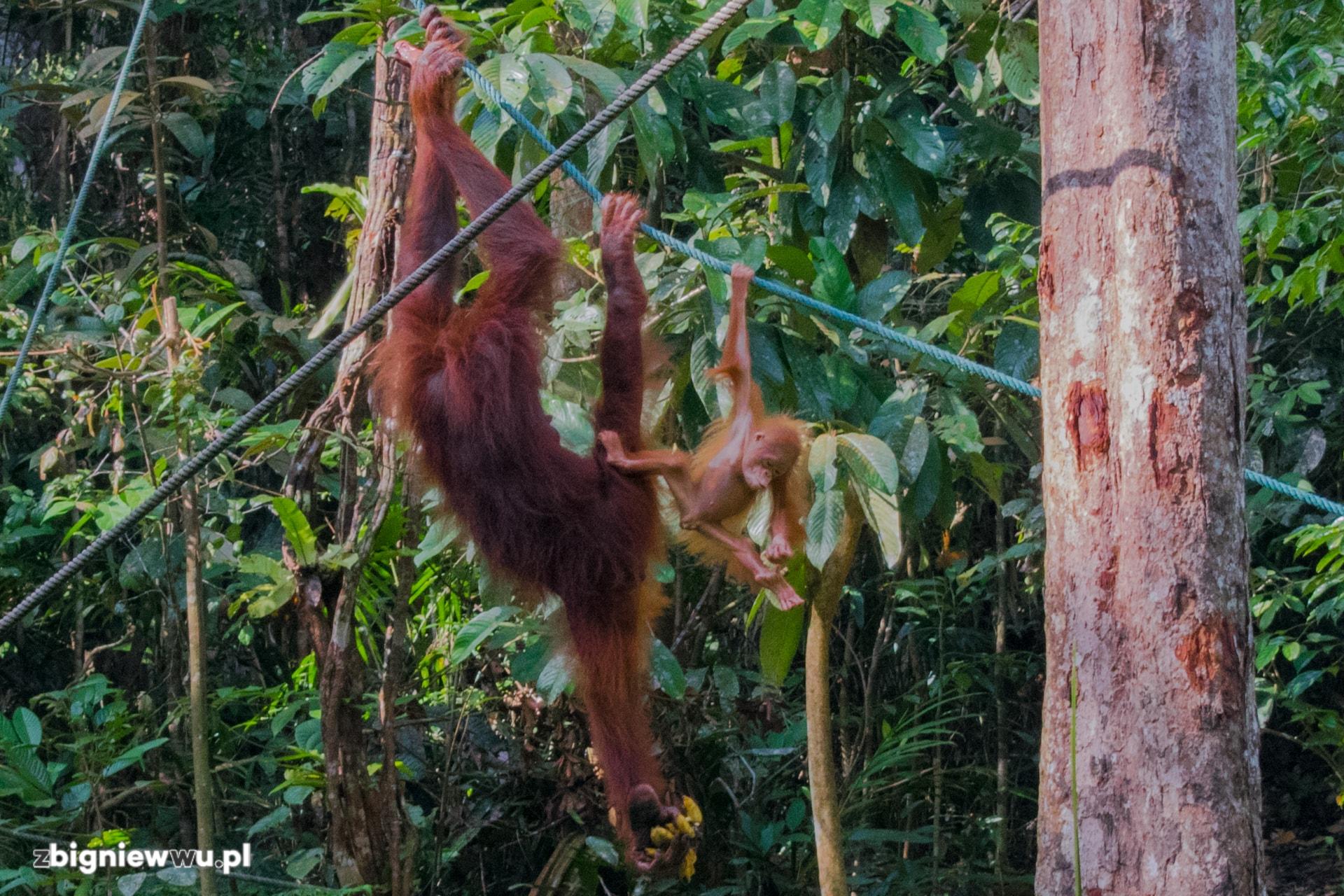 Jako druga na karmieniu pojawiła się matka z młodym orangutanem, który sprawił wszystkim masę radości swoimi wygibasami kilkanaście metrów nad ziemią
